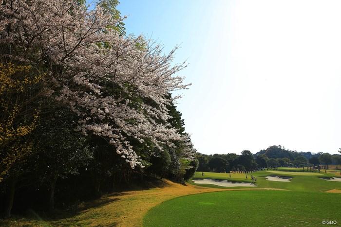 最終日まで桜が咲いていてほしいなぁ。 2018年 ヤマハレディースオープン葛城 初日 11番ホール