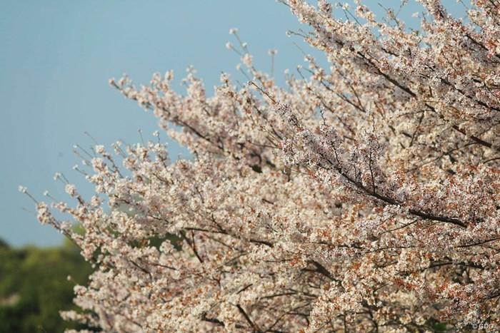 風で少しずつ散り始めてます。 2018年 ヤマハレディースオープン葛城 2日目 桜